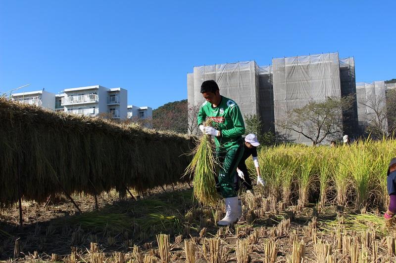 稲刈り (14)